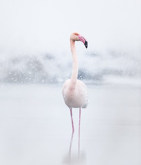 Flamant rose sous la neige en Camargue par Patrick GOUJON avec une surexposition de 2IL