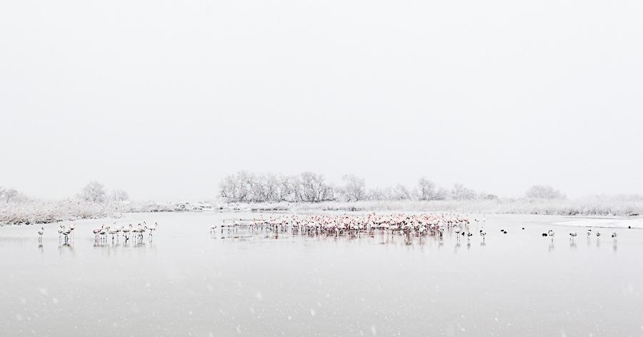 Groupe de flamants roses sous la neige en camargue à la focale de 17mm par patrick GOUJON