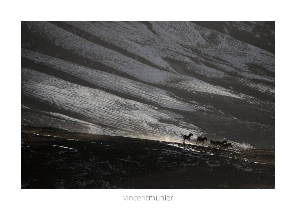 Ânes sauvages du Tibet, Qinghai, 2012