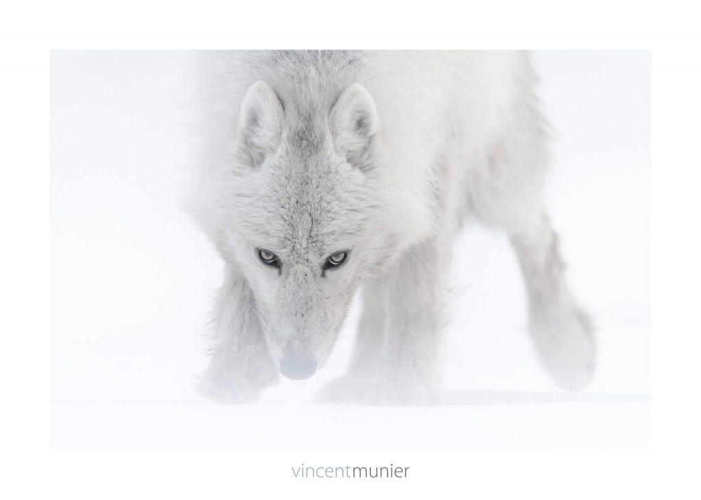 Les grands photographes - Page 3 VincentMunier_louparctique-1024x730