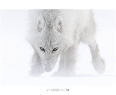 Loup arctique sur Ellesmere Island (Canada), 2013