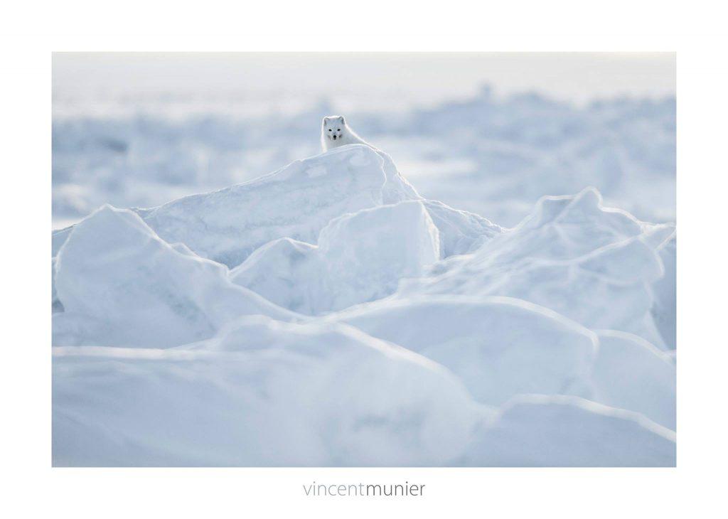 Renard polaire sur une dune de neige sur Ellesmere Island (Canada), 2013