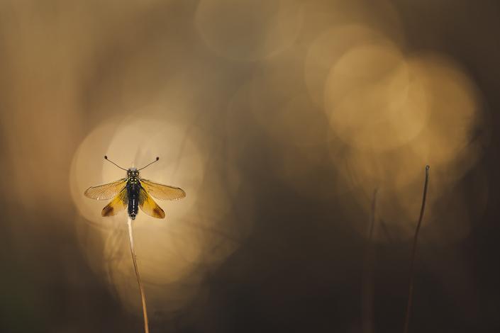 Macrophotographie d'un ascalaphe (insecte mi papillon-mi libellule) photographié dans un pré su sud de la France