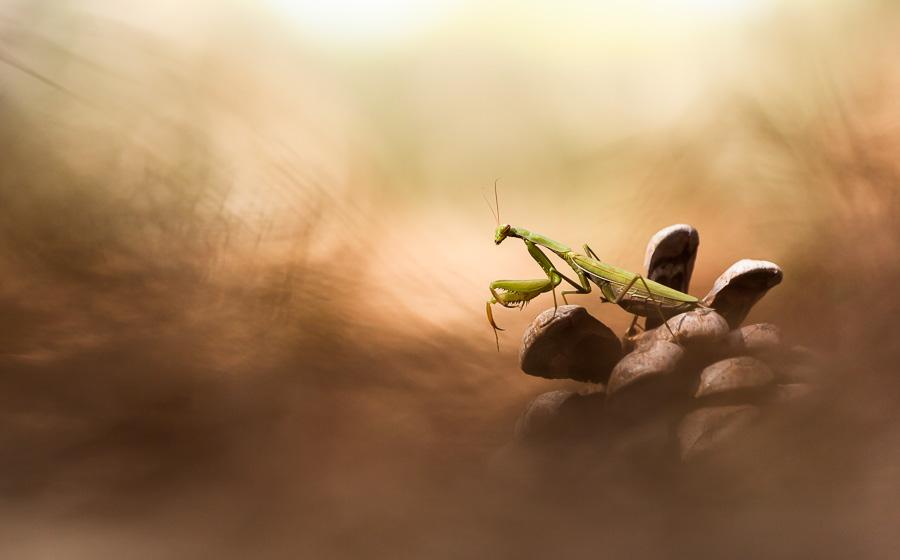 Proxiphotographie d'une mante religieuse, à l'ombre d'une pinède sur une pomme de pin